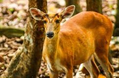 Cerfs communs sauvages asiatiques images libres de droits