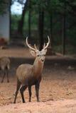 Cerfs communs sauvages avec des klaxons Photos stock