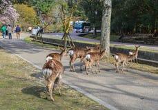 Cerfs communs sauvages chez Nara Park Japan photographie stock libre de droits