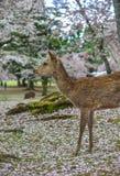 Cerfs communs sauvages chez Nara Park Japan photos libres de droits
