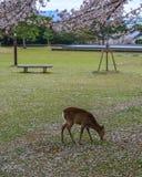 Cerfs communs sauvages chez Nara Park Japan images libres de droits