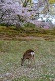 Cerfs communs sauvages chez Nara Park Japan photo libre de droits