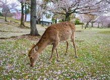 Cerfs communs sauvages chez Nara Park Japan images stock