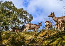 Cerfs communs sauvages chez Nara Park Japan image stock