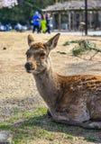 Cerfs communs sauvages chez Nara Park Japan image libre de droits