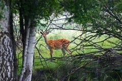 Cerfs communs sauvages d'observateur dans la forêt Photos stock