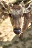 Cerfs communs sauvages de Nara Park, Japon images libres de droits