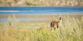 Cerfs communs sauvages en Alberta River Valley Images libres de droits