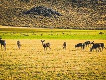 Cerfs communs sauvages fr?lant par des collines dans les pr?s image libre de droits