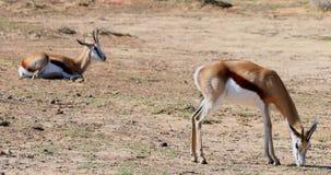 Cerfs communs sauvages frôlant sur une terre stérile 4k banque de vidéos