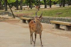 Cerfs communs sauvages japonais Photographie stock libre de droits