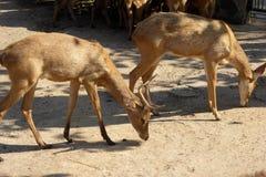 Cerfs communs sauvages mangeant dans leur clôture au zoo de Ho Chi Minh Ville Image stock