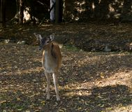 Cerfs communs se tenant et regardant en parc image stock