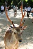 cerfs communs Semi-sauvages Photo libre de droits
