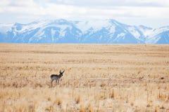 Cerfs communs seul se tenant aux déserts de l'île d'antilope images stock