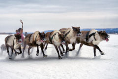 cerfs communs sledding Photo stock
