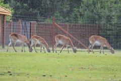Cerfs communs sous la pluie images libres de droits