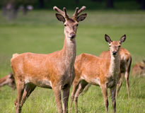 Cerfs communs, stationnement de Richmond Image stock