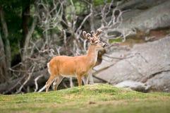 Cerfs communs suivis blancs de faune animale dans Ridge bleu Photographie stock