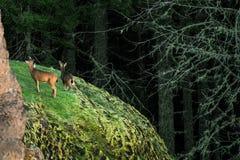 Cerfs communs sur Cliffside images stock