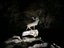 Cerfs communs sur des falaises la nuit Images libres de droits