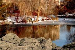 Cerfs communs sur l'étang Photos libres de droits