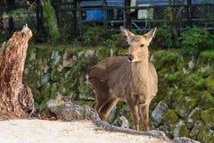 Cerfs communs sur l'île de Miyajima Image libre de droits