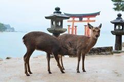 Cerfs communs sur l'île de Miyajima Image stock