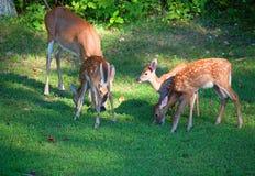 Cerfs communs sur la pelouse Photographie stock libre de droits