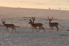 Cerfs communs sur la plage Images stock