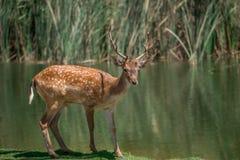 Cerfs communs sur Lakeside Images stock
