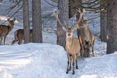 Cerfs communs sur le fond de neige Photos libres de droits