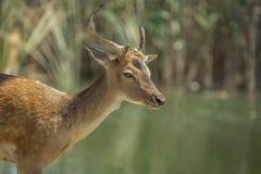 Cerfs communs sur le lac image libre de droits