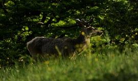 Cerfs communs sur le pré par la forêt Images stock