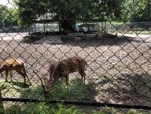 Cerfs communs sur le zoo image libre de droits