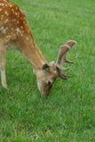 Cerfs communs tachetés Photos stock