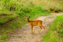 Cerfs communs timides se tenant sur une traînée dans une réserve naturelle Photos stock
