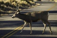 Cerfs communs traversant la route Photos stock