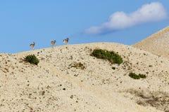 Cerfs communs trottant le long du bord des dunes de sable Photos stock