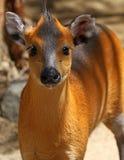 Cerfs communs tuftés Photos stock