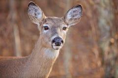 Cerfs communs vigilants images stock