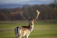Cerfs communs vigilants Photographie stock libre de droits