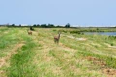 Cerfs communs vigilants se tenant dans le domaine ouvert image stock