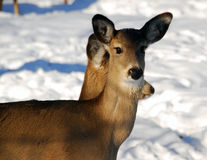 cerfs communs Whte-suivis Photo stock