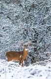 Cerfs de Virginie Buck Against Backdrop de neige d'hiver Image libre de droits