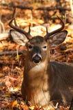 Cerfs de Virginie Buck Bedded Photographie stock libre de droits