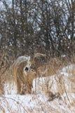 Cerfs de Virginie Buck Feeding During chutes de neige par hiver Photo libre de droits