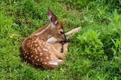 Cerfs de Virginie Fawn Ready à faire une sieste Image libre de droits