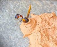 Ceriana wasp, Wasp-mimic Hoverfly (Hymenoptera Ceriana sp) nest. Stock Image