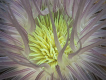 Cerianthus species sea anemone Stock Photo